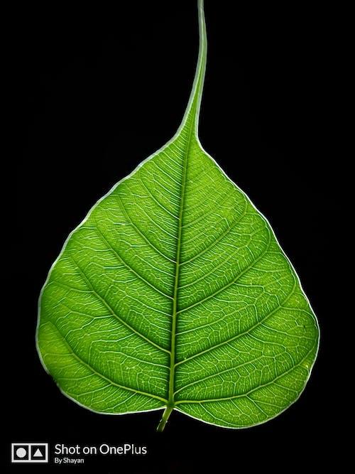 Fotos de stock gratuitas de efecto de luz, hoja de higuera, hoja grande, hoja verde