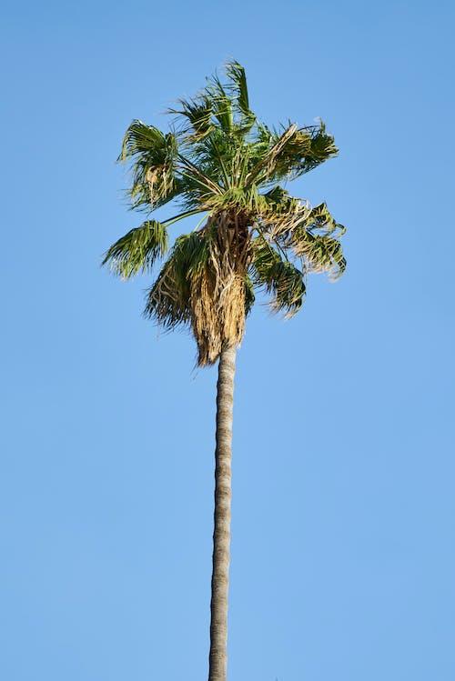 Foto d'estoc gratuïta de arbre, cel, cel blau, coco