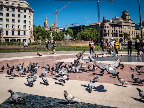 Foto stok gratis burung-burung, langit biru, merpati, orang biasa