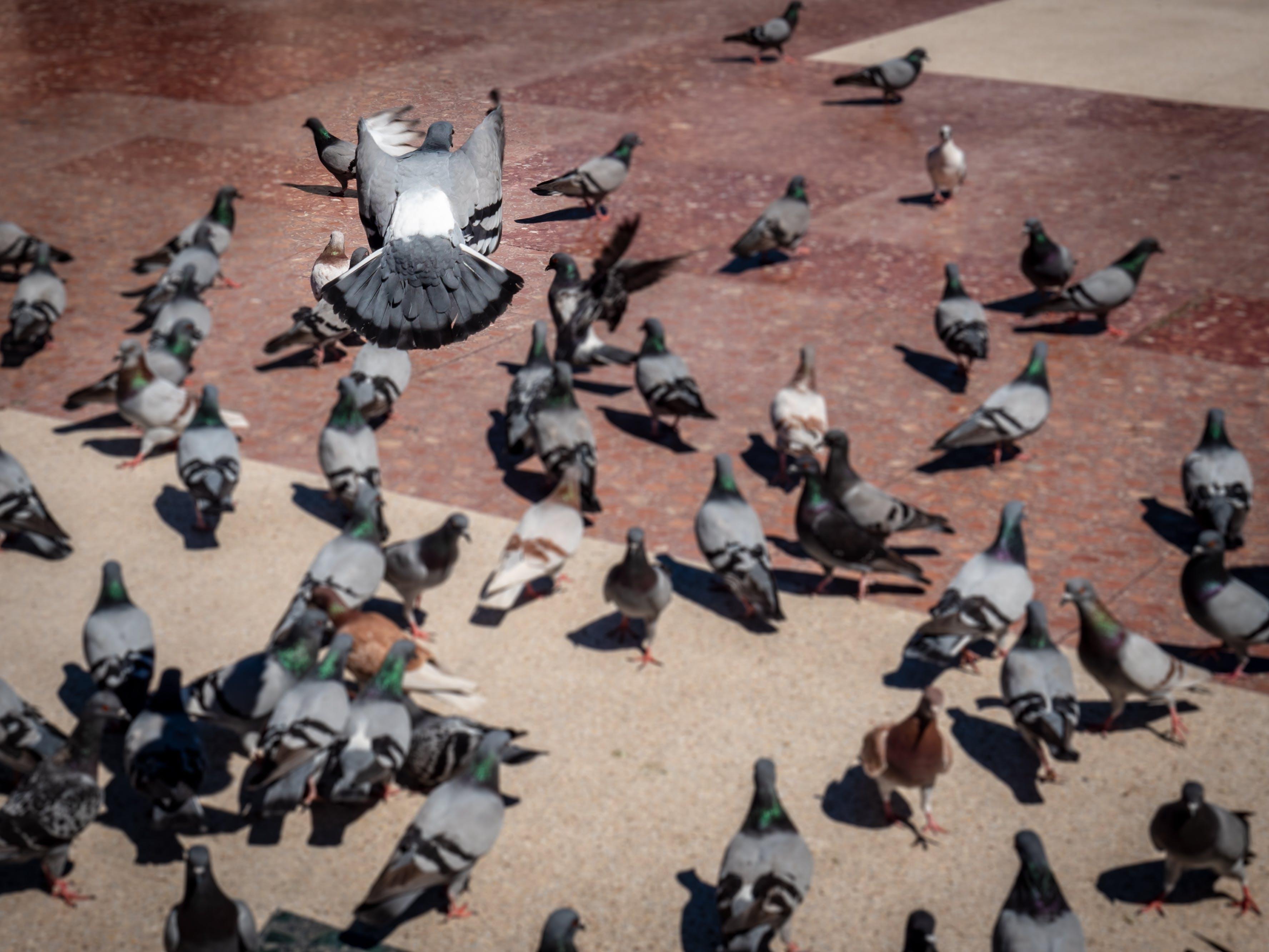 Free stock photo of birds, flying bird, pigeons