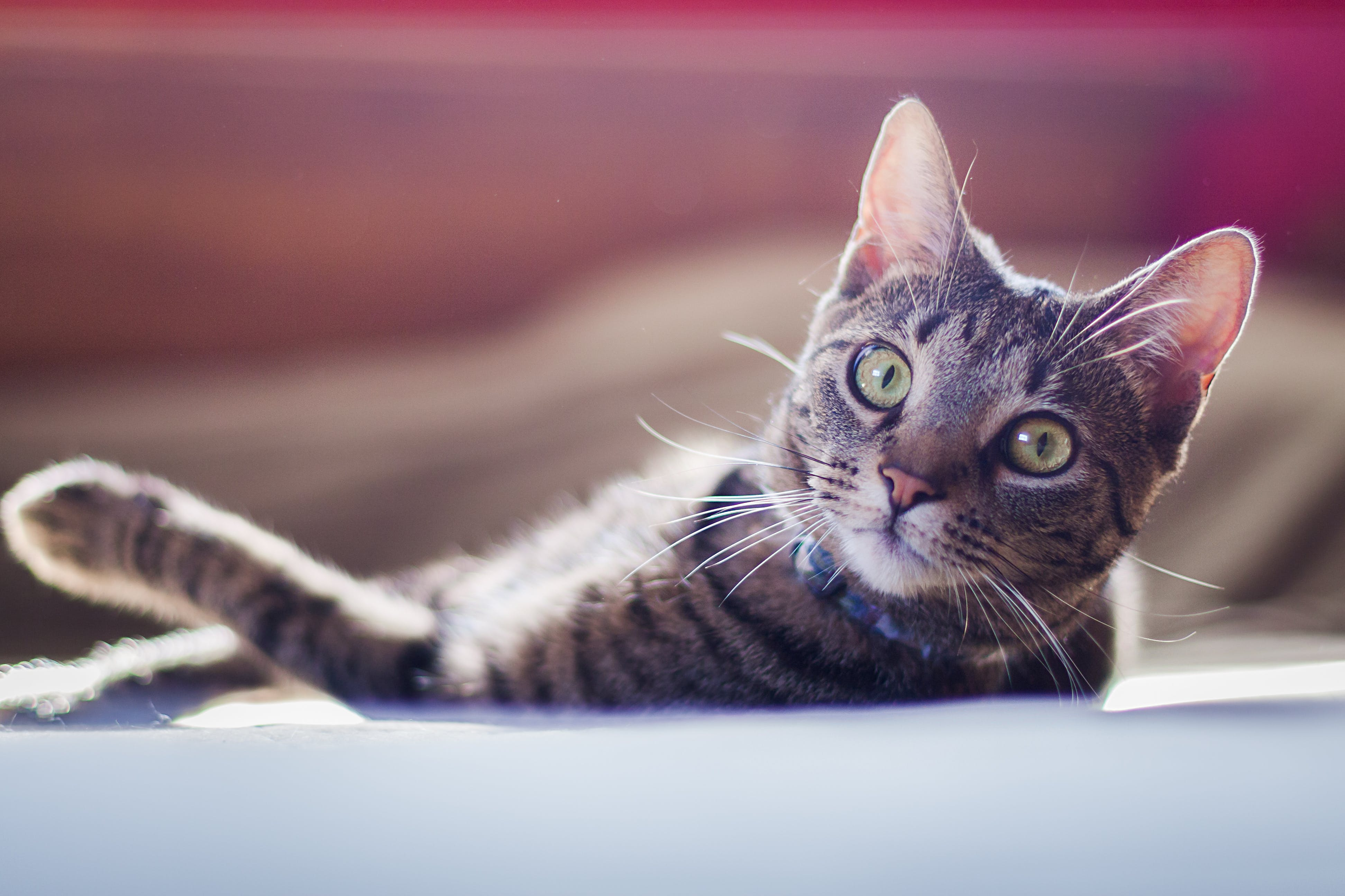 Photo of Tabby Cat Lying Down