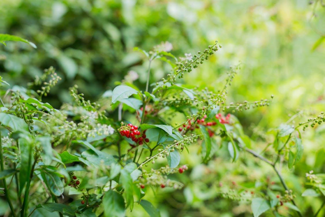 berries, green, green plants