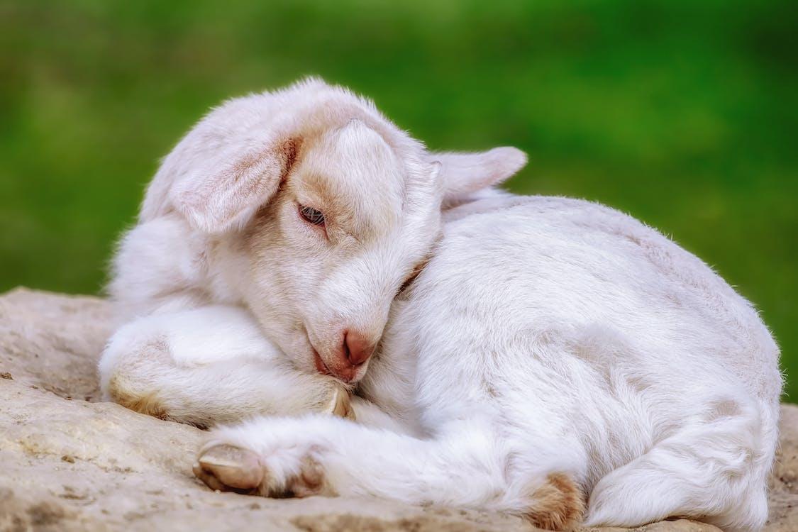 Close-up Photo of White Baby Goat Sleeping