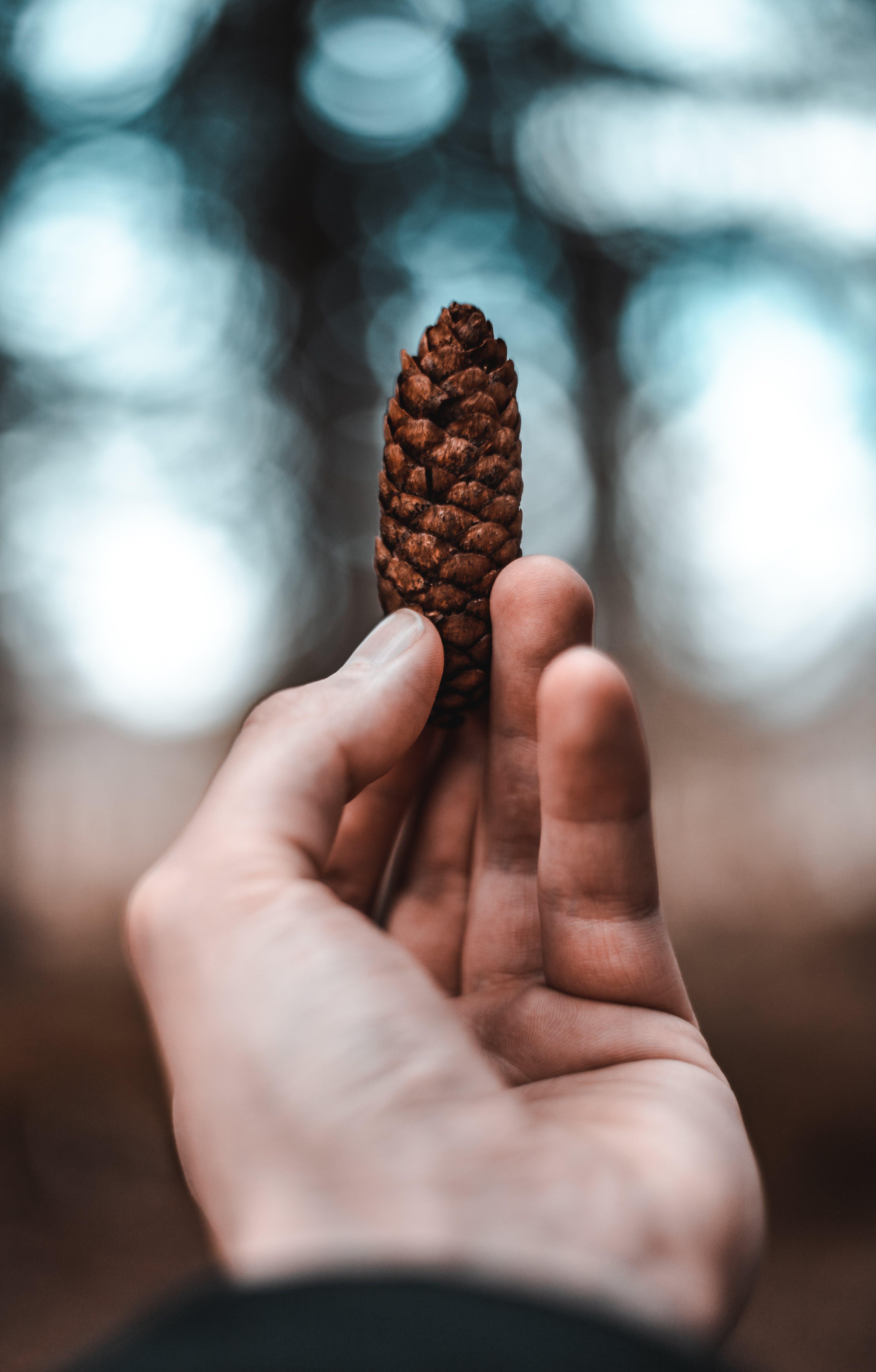 Základová fotografie zdarma na téma borová šiška, držení, ruka, suchý