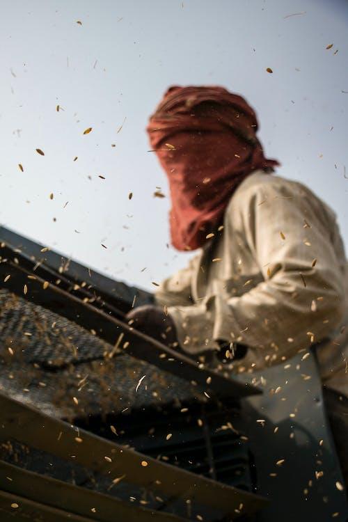 小麥, 穀物, 農民, 面紗 的 免费素材图片