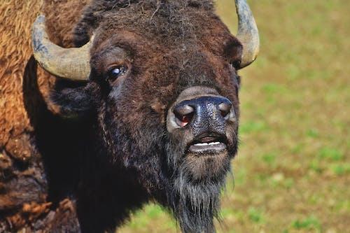 Gratis arkivbilde med bison