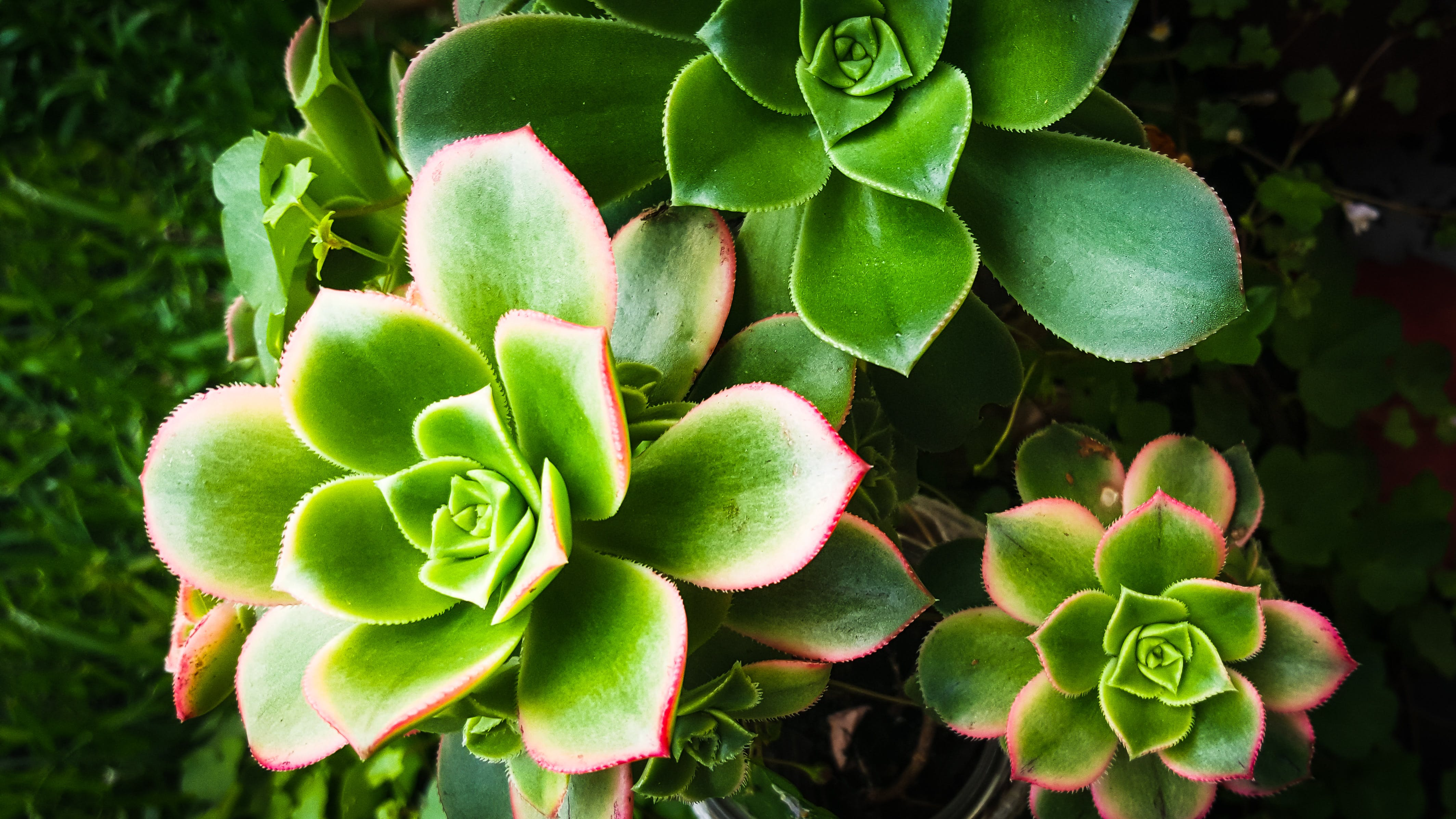 Free stock photo of succulent plant