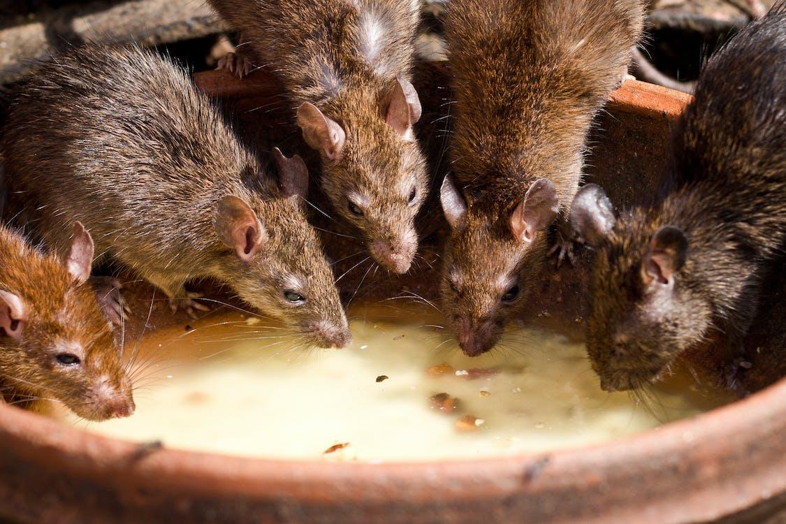 rata, ratas, roedor