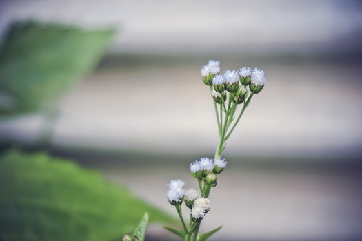 White Ageratum Close Up Photography