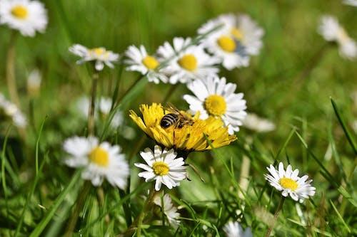Gratis arkivbilde med bie, eng, honningbie, løvetann