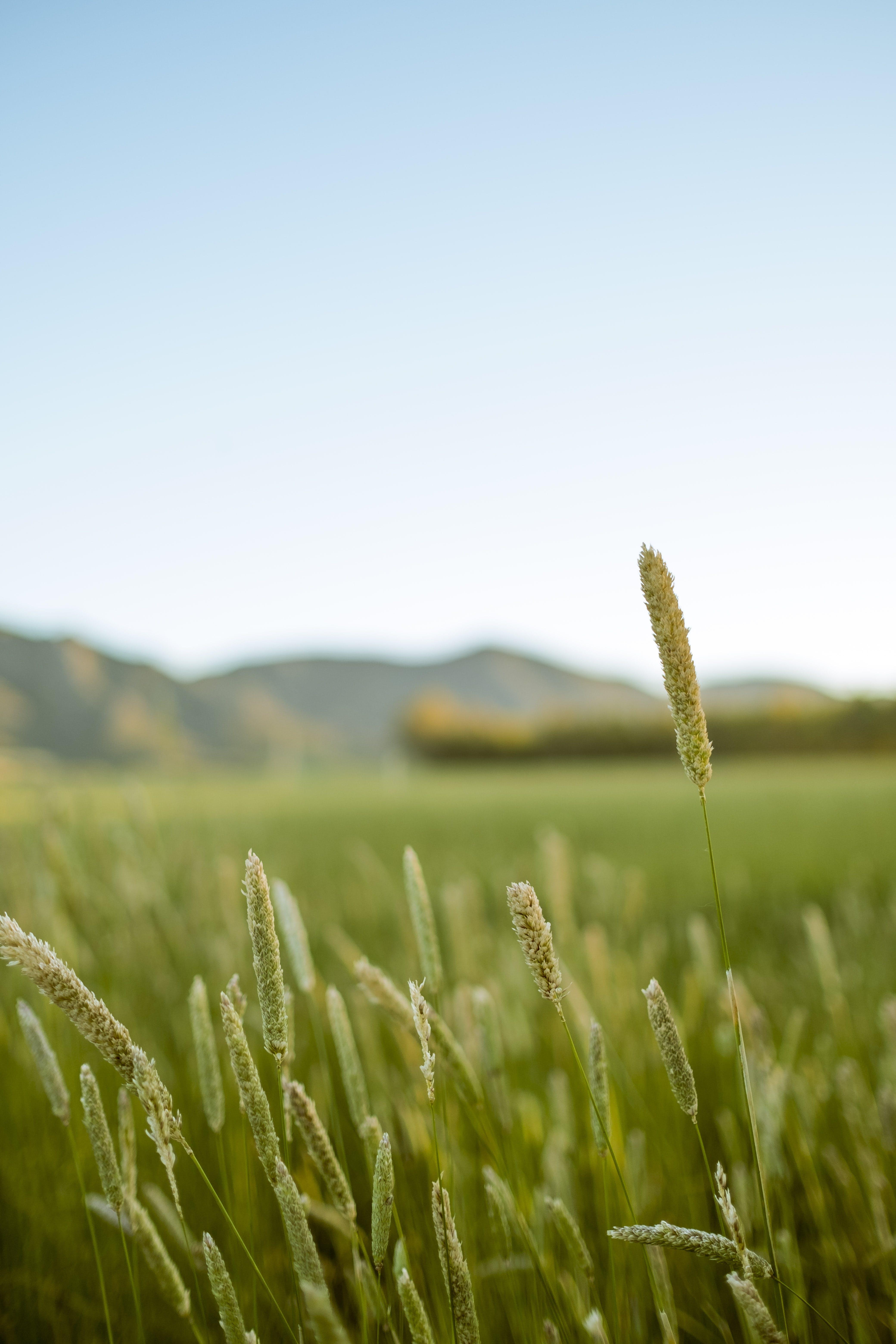 Foto d'estoc gratuïta de a l'aire lliure, camp, camp de cereals, canya