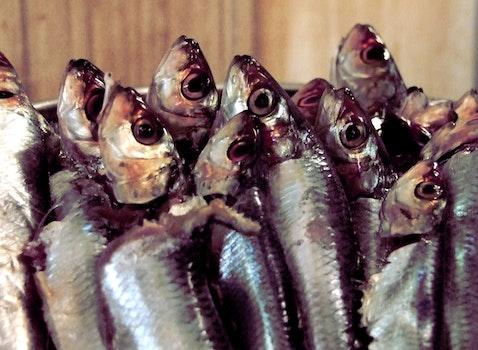 Free stock photo of sardines