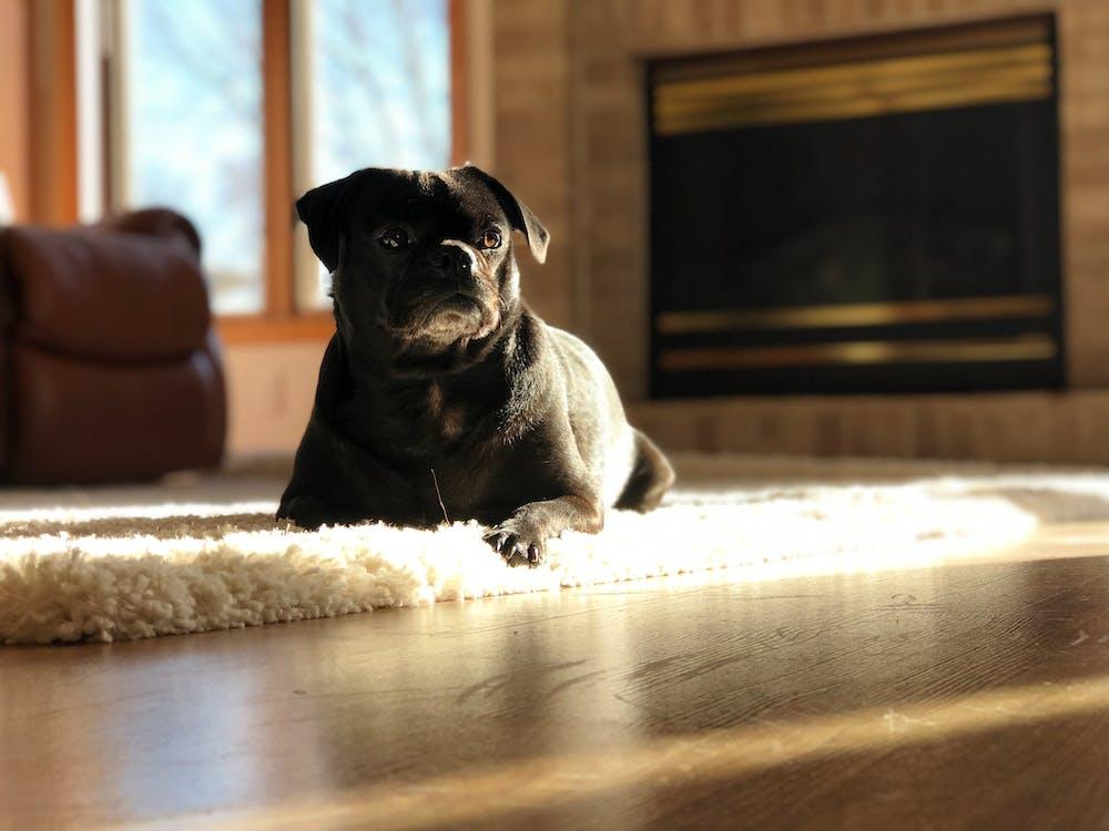Black Short Coat Small Dog Lying on Rug
