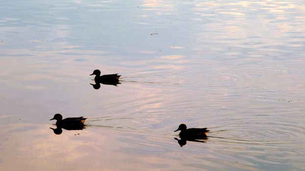 Free stock photo of 3 ducks with their shadows in a lake