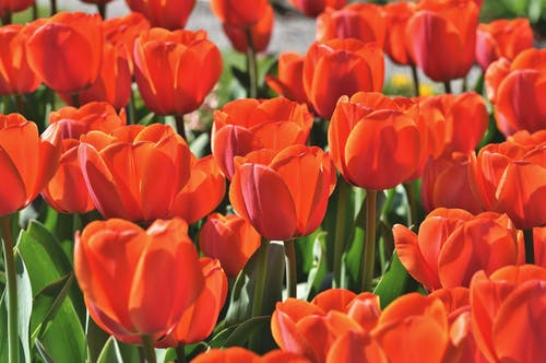 Gratis arkivbilde med røde tulipaner, tulipan, tulipaner