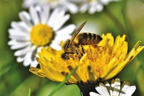 Gratis arkivbilde med bie, honningbie, løvetann