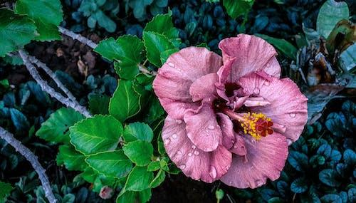 Fotobanka sbezplatnými fotkami na tému kvet, ružová