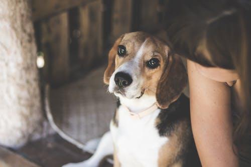 Tri-color Beagle Dog Near Woman