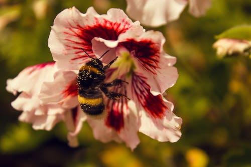 Foto d'estoc gratuïta de abella, abellot, estiu, flor