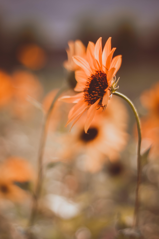 Imagine de stoc gratuită din creștere, floare, floare frumoasa, floarea-soarelui