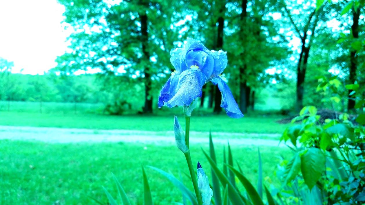 alkukesästä, iiriksen kukka, kukka
