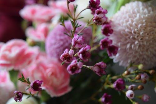 Foto profissional grátis de cor-de-rosa, dália, flor, flor bonita