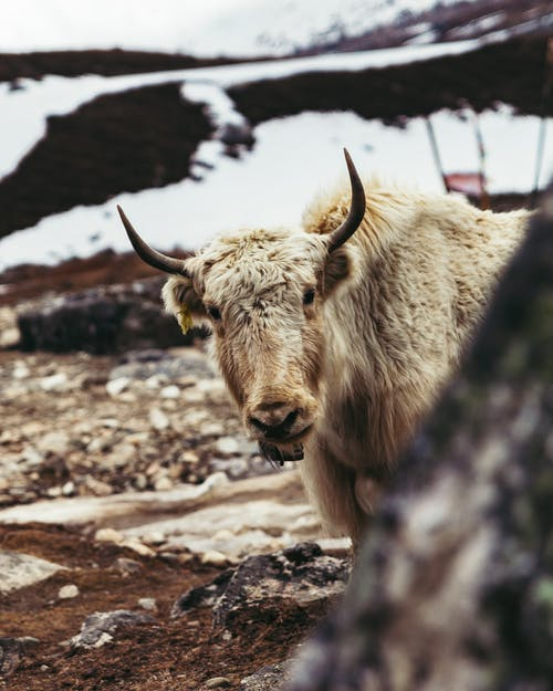Free stock photo of animal, animal farming, domestic yak, fur