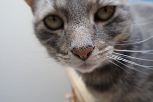 Základová fotografie zdarma na téma kočka, kočkovití, vážný, zírat