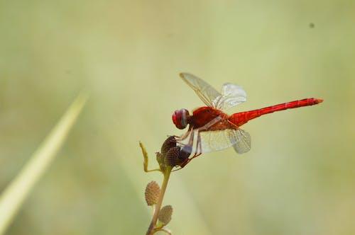 คลังภาพถ่ายฟรี ของ macrophotography, ธรรมชาติ, แมลง, แมลงปอสีแดง