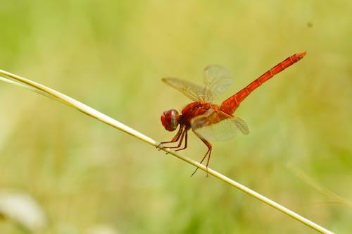 คลังภาพถ่ายฟรี ของ ธรรมชาติ, ปีกแมลงปอ, แมลง, แมลงปอ