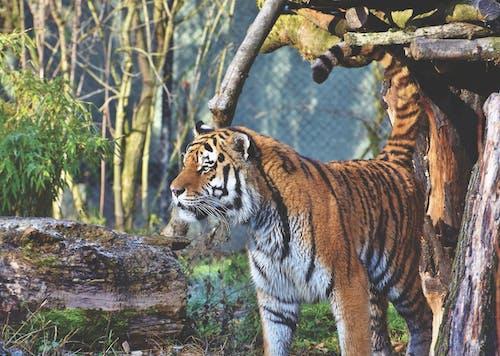 Gratis arkivbilde med bengal tiger, stripete katt, tiger