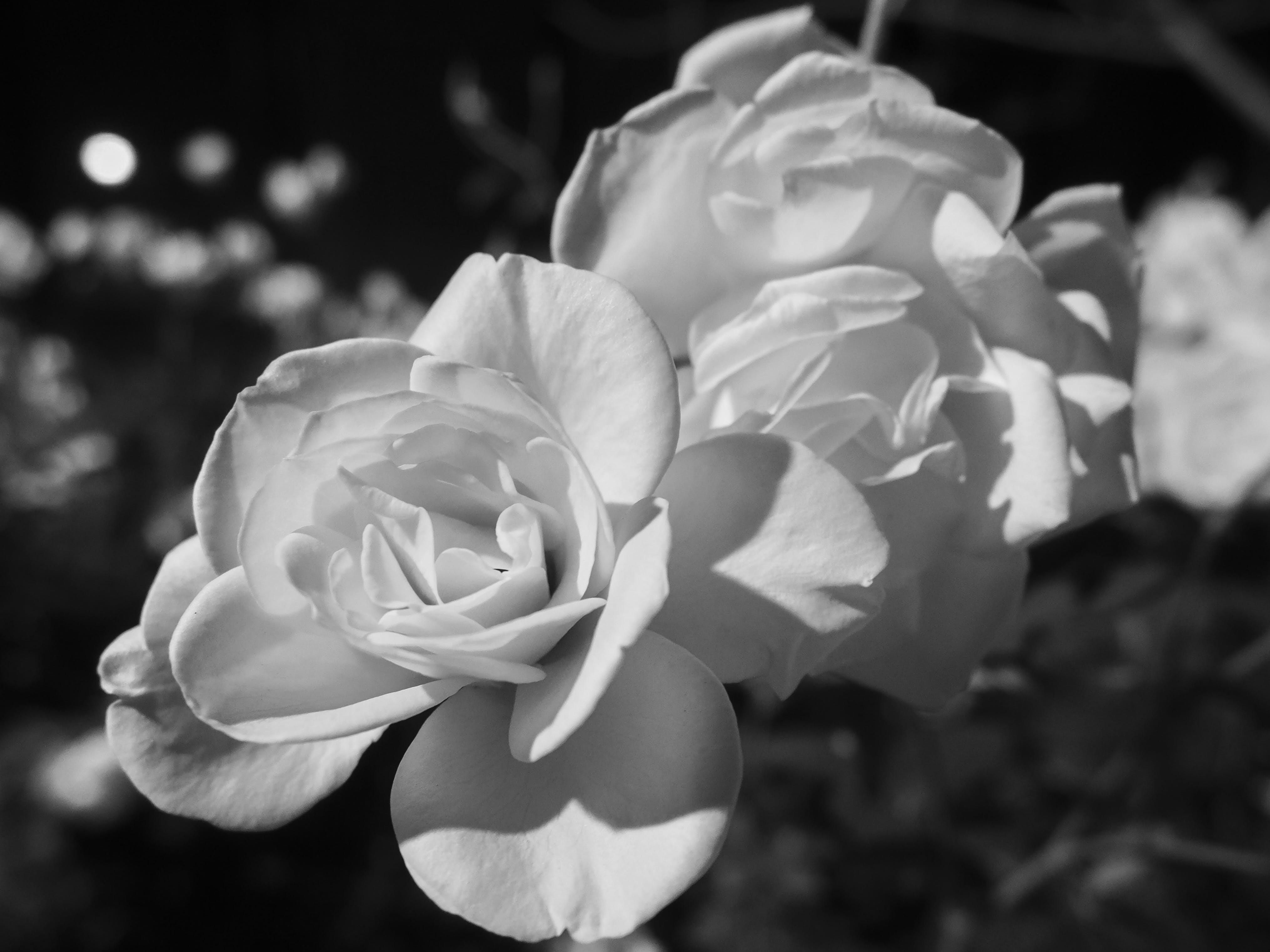 Kostenloses Stock Foto zu blume, blütenblätter, grau, graustufen