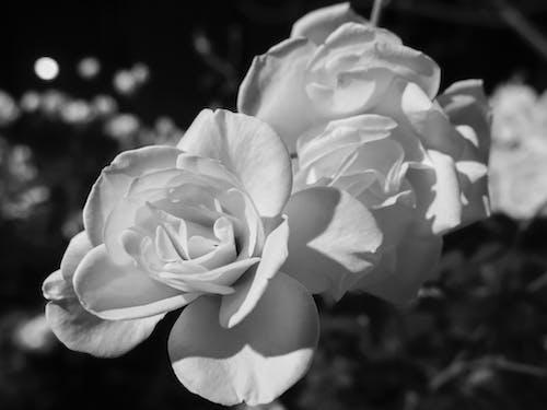 Immagine gratuita di bianco, fiore, grigio, impianto
