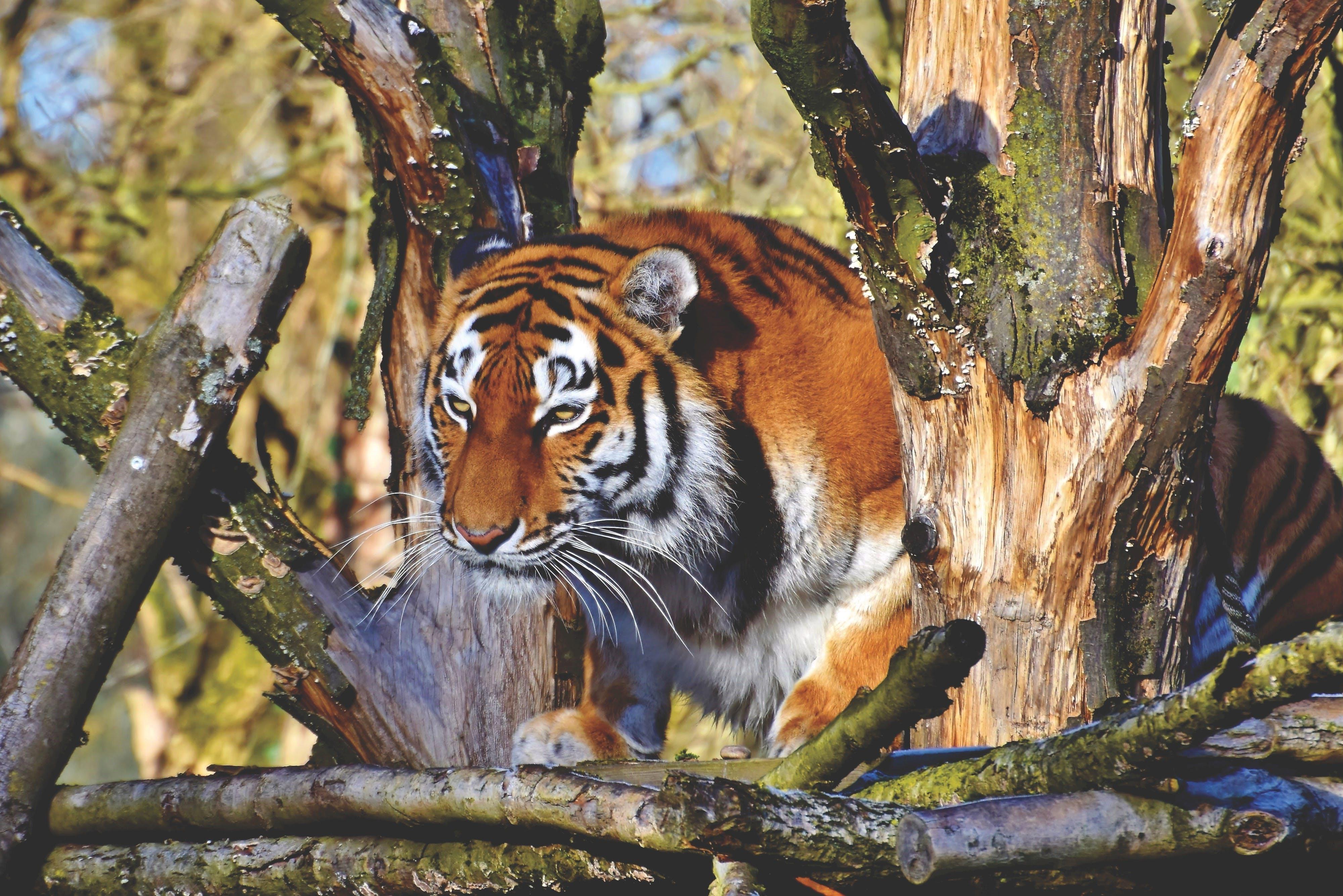 Gratis arkivbilde med bengal tiger, dyr, dyrehage, dyreliv