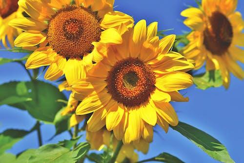 Gratis arkivbilde med solsikke, solsikkeåker