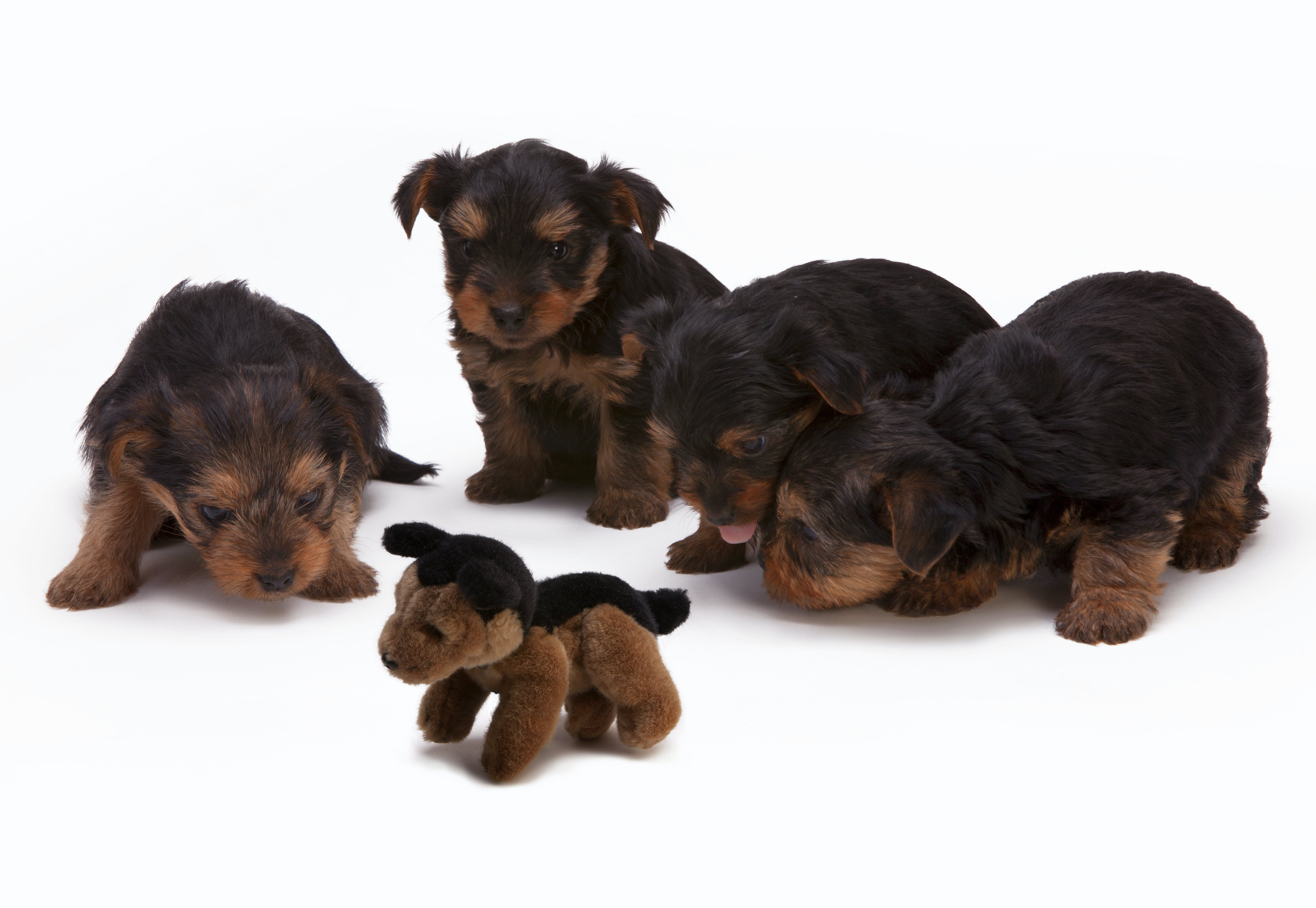 Black and Brown Long Haired Puppies