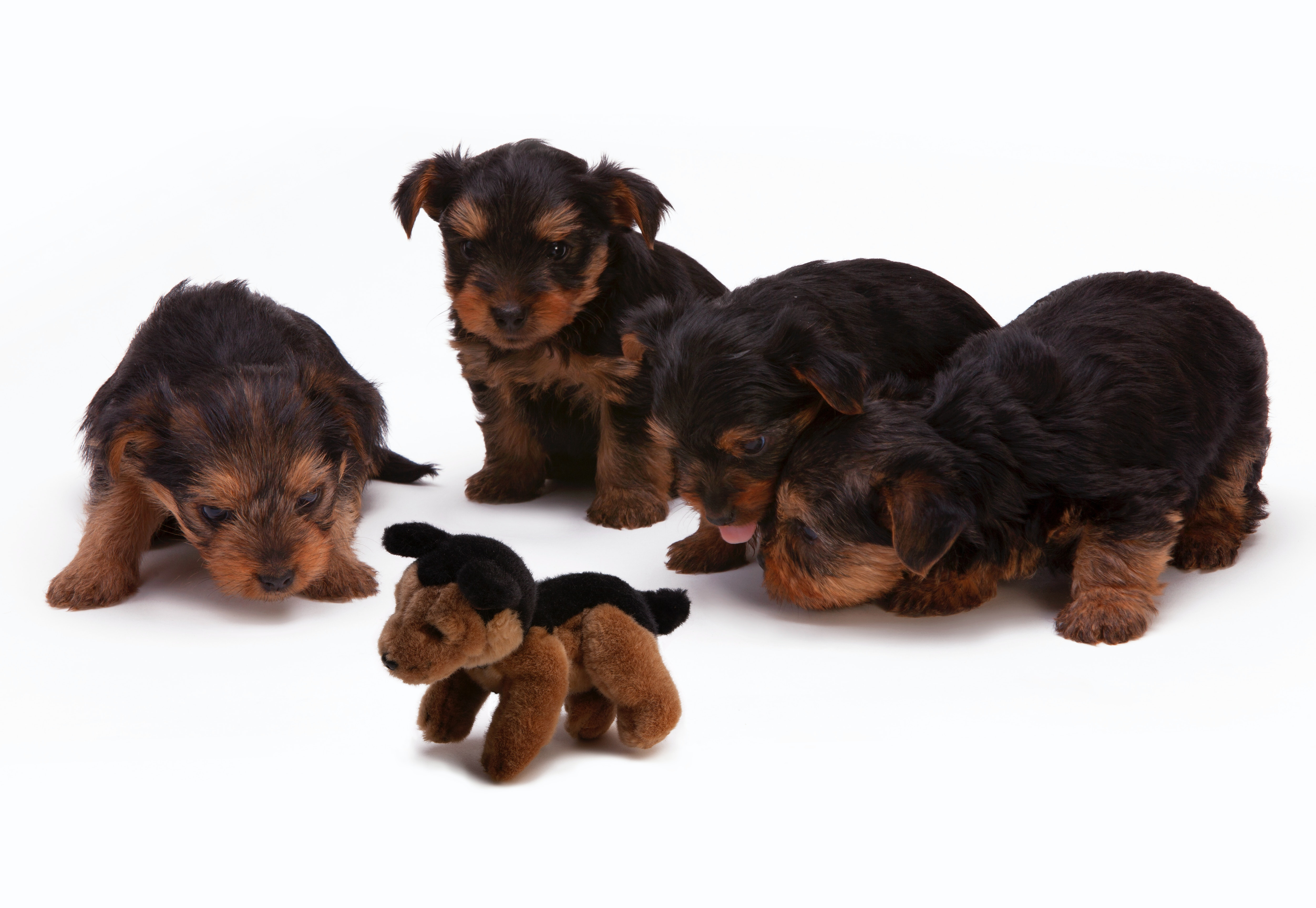 black and brown long haired puppies · free stock photo