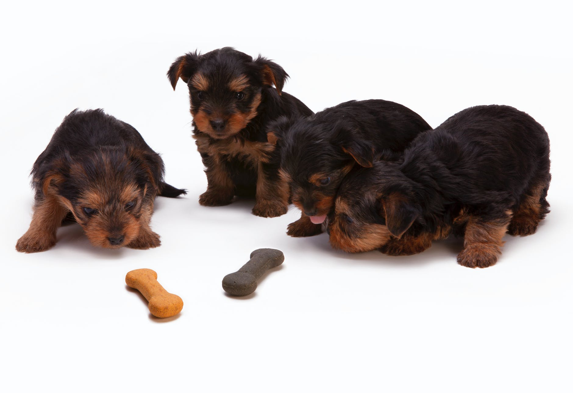 cute brown puppies with a bone cookie treats