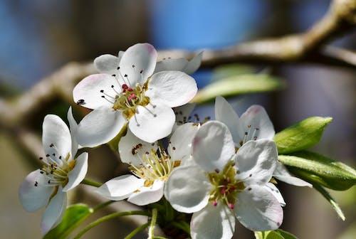 Gratis arkivbilde med blomster, epleblomst