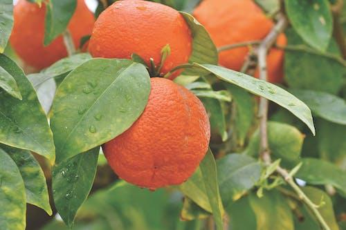 Gratis arkivbilde med appelsiner, appelsintre