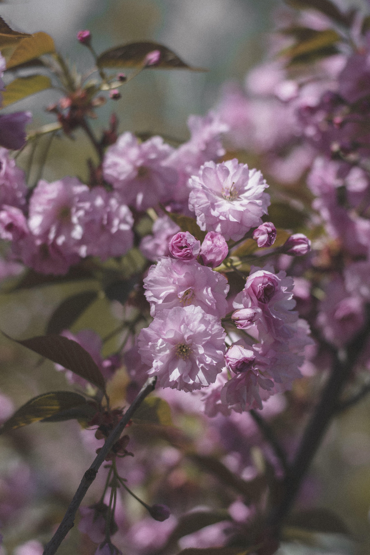 Gratis stockfoto met bloeiend, bloemen, flora, kers