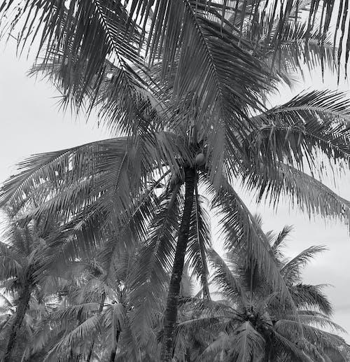 Free stock photo of coconut trees, monochrome, tree