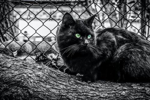 Free stock photo of black, black cat, cat's eyes, outdoors