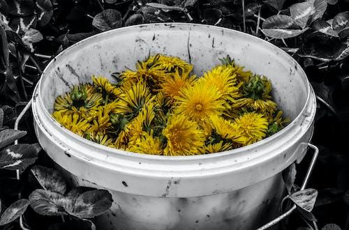 คลังภาพถ่ายฟรี ของ ดอกแดนดิไลออน, ดำ, ถัง, สีเหลือง