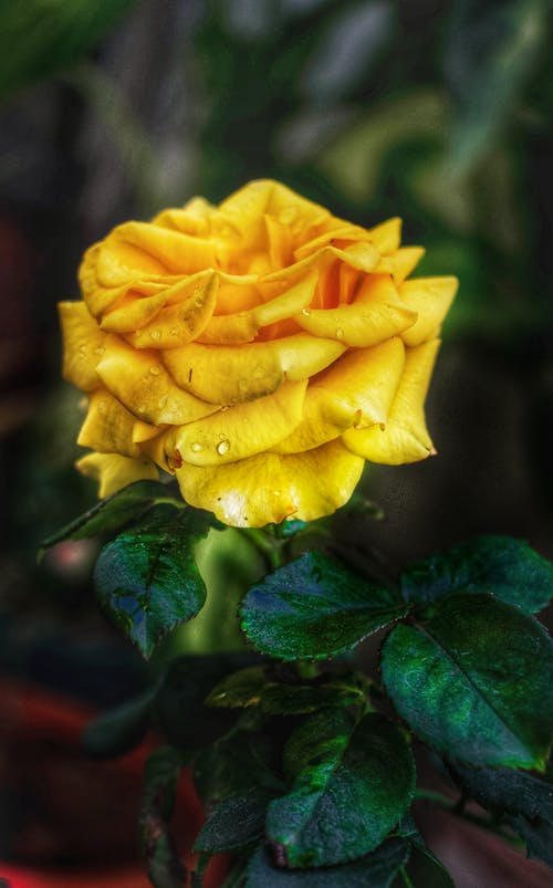 Immagine gratuita di #rose #grandi #fine #nature