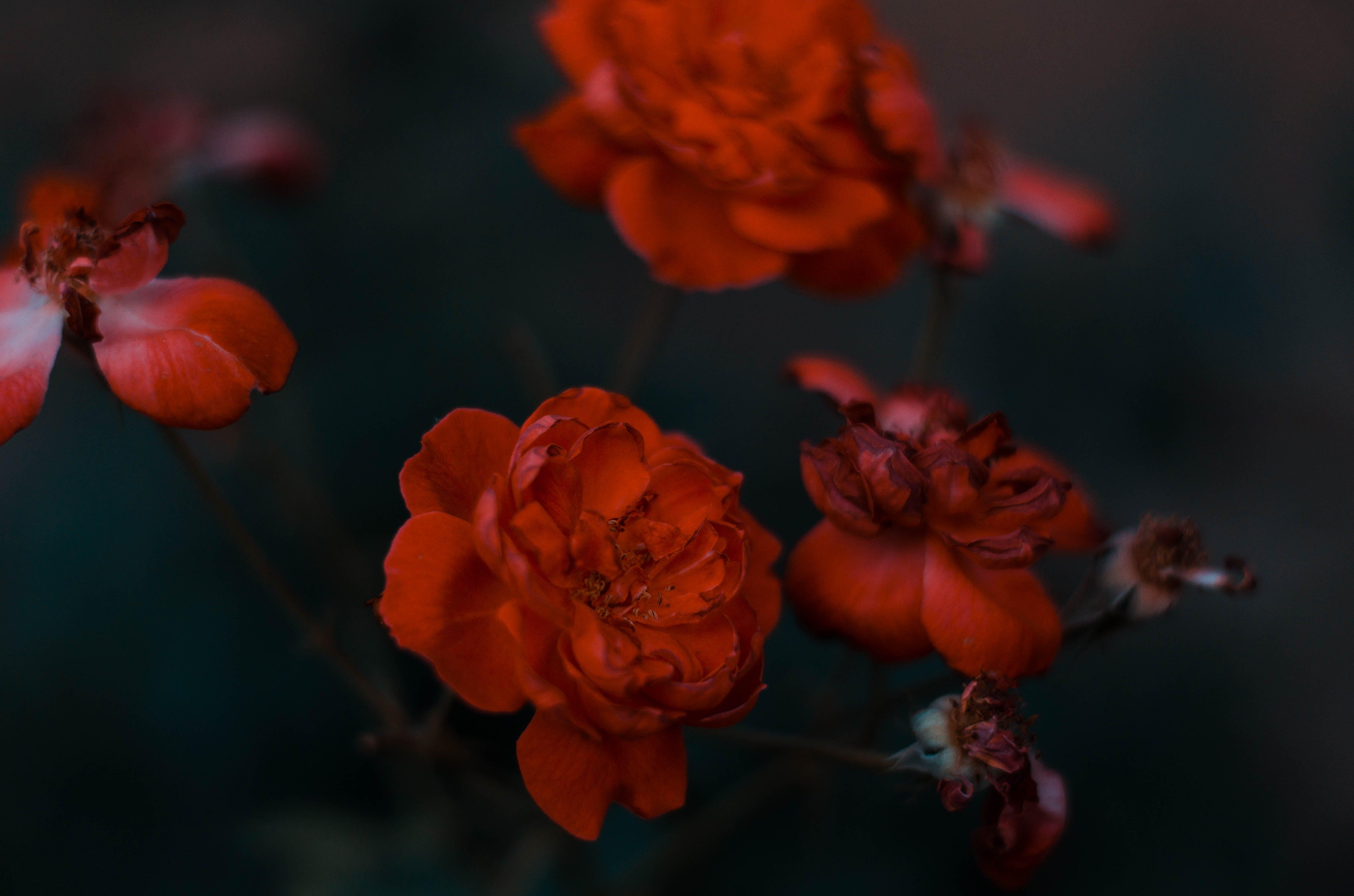 Δωρεάν στοκ φωτογραφιών με άρωμα τριαντάφυλλων, κόκκινα τριαντάφυλλα, Ροζ τριαντάφυλλο, ροζ φυτό