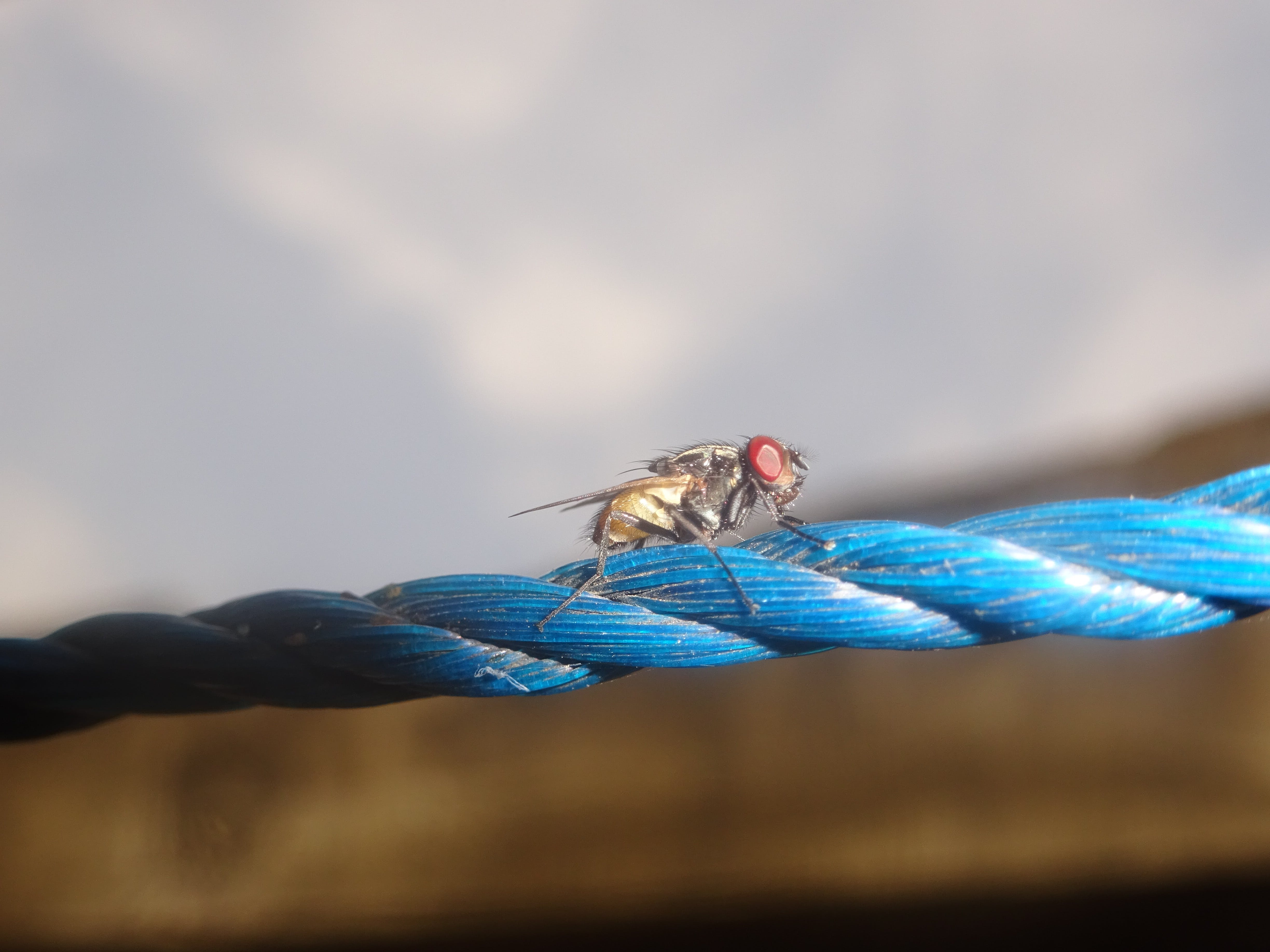 Free stock photo of animal, blue, cord, fly