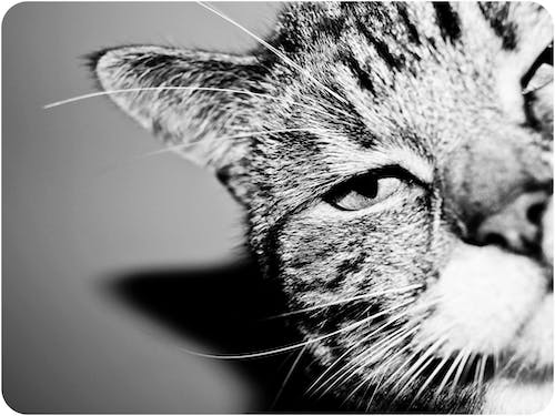 Free stock photo of animal, black and white, cat