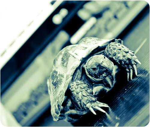 Free stock photo of animal, tortoise