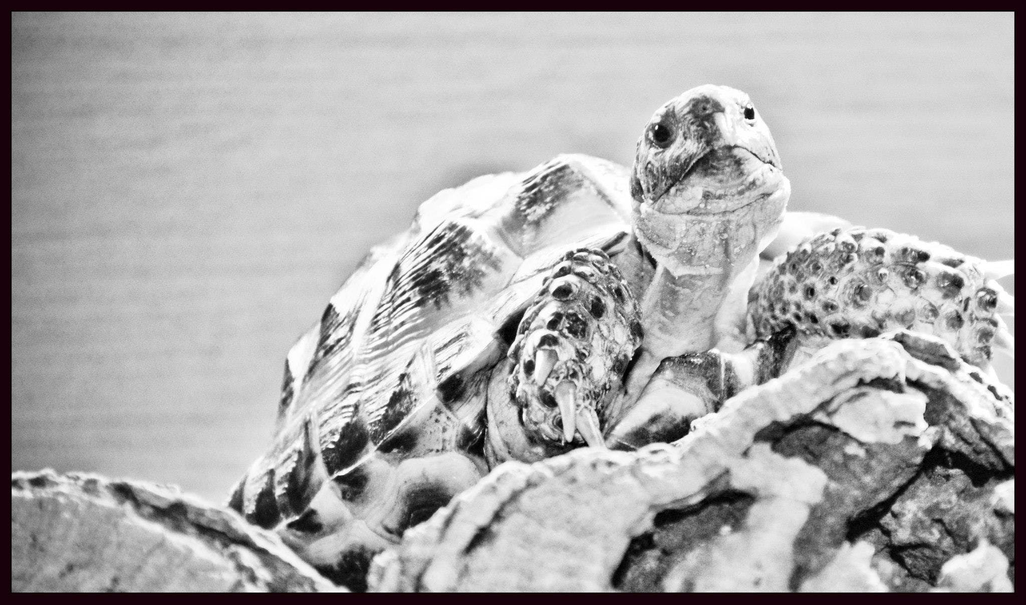 Free stock photo of animal, black and white, tortoise